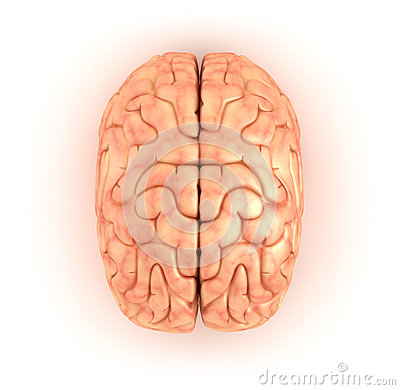 Human brain , top view