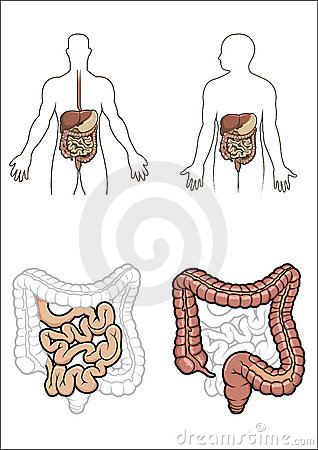 Human digestive system in