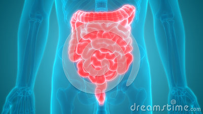 Human Digestive System Anatomy Large and Small Intestine Stock Photo