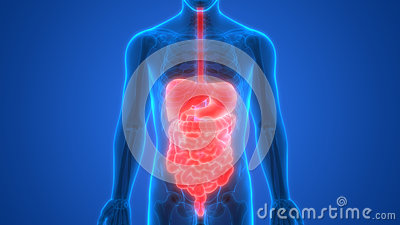 Human Digestive system Anatomy Liver with Stomach, Large and Small Intestine Stock Photo