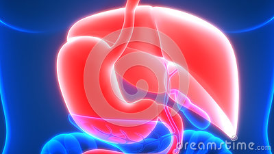Human Digestive system Anatomy Posterior view Stock Photo