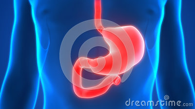 Human Digestive System Anatomy Stomach Stock Photo