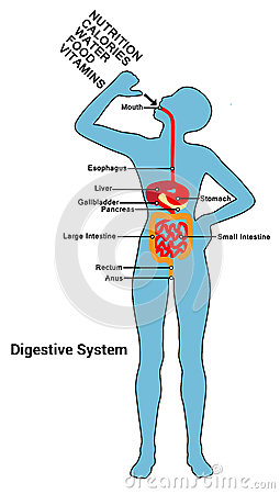 Human Digestive System    Diagram       Illustration    Stock Vector