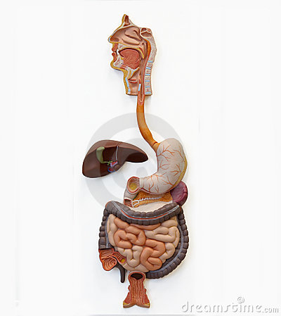 Free Human Digestive System (Extraction) Royalty Free Stock Photos - 10127138
