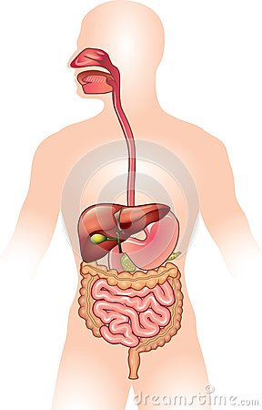 Free Human Digestive System Illustration Stock Images - 33479194