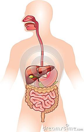 Human digestive system  illustration