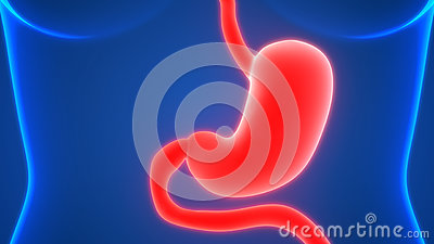 Human Digestive System Stomach Anatomy Stock Photo