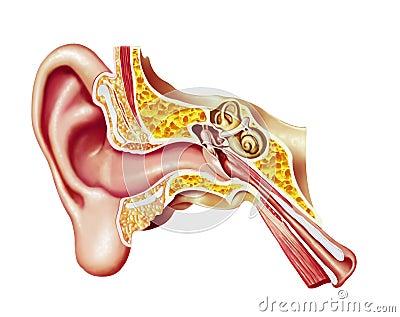 Human ear, realistic cutaway diagram.
