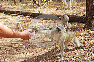 Human feeding monkey fruit