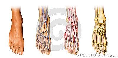 Human foot anatomy cutaway representation.