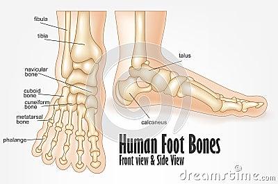 Human skeleton foot side - photo#5