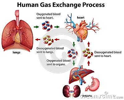Human Gas Exchange Process Diagram Stock Vector Image
