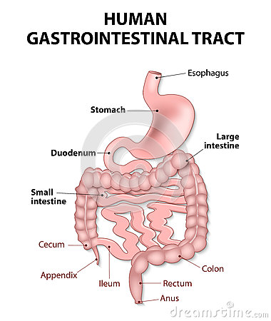 the esophagus in the digestive system