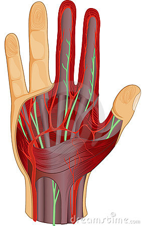 Human hand nerves and muscle