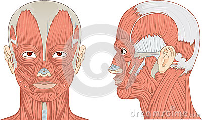 muscles of the human head illustration royalty free stock, Muscles