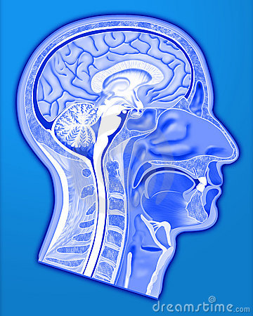 Human head structure