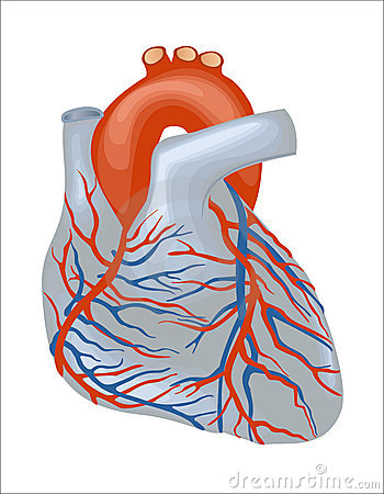 Human Heart Stock Images - Image: 12875424