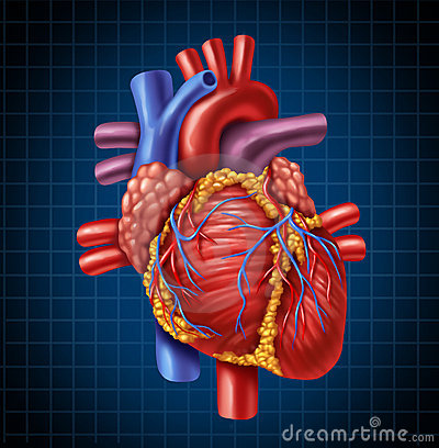 Free Human Heart Anatomy Royalty Free Stock Photography - 22594047