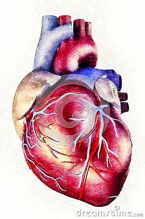 Human Heart Anatomy Illustration Stock Illustration - Image 62770849