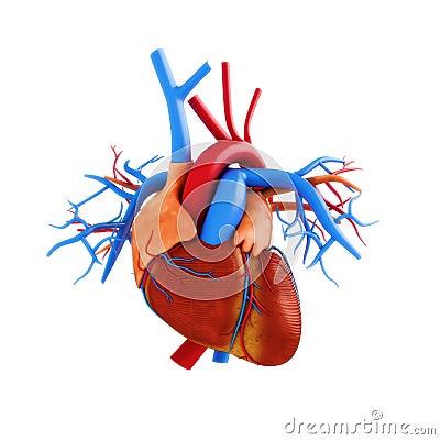 human heart anatomy illustration stock illustration - image: 62770849, Muscles