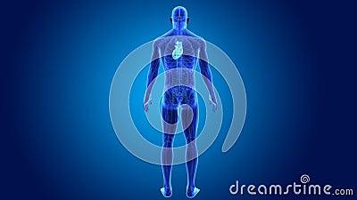 Human Heart with Anatomy Stock Photo