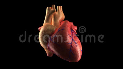 Human Heart Beat - ALPHA. Human Heart Beat + ALPHA channel