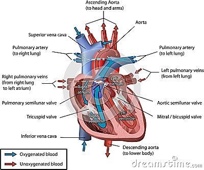 organismal bio. ii lab, Muscles