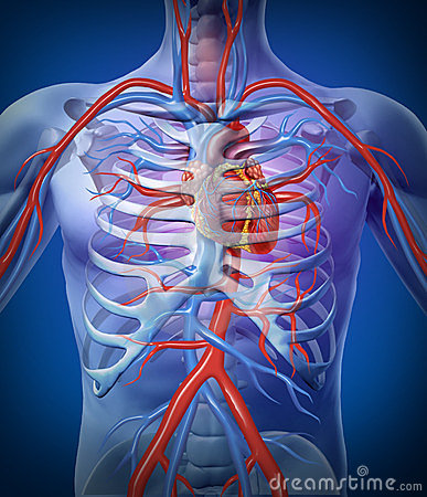 Free Human Heart Circulation In A Skeleton Royalty Free Stock Photography - 23527277