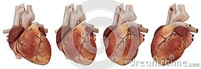 Human heart and coronary arteries