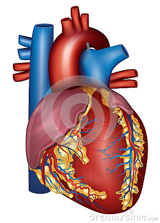 Free Human Heart Detailed Anatomy, Colorful Design Royalty Free Stock Images - 37154959