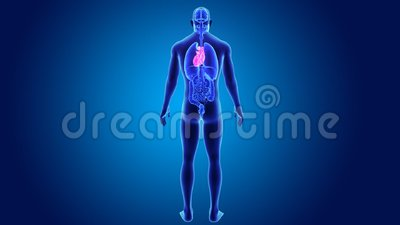 Human Heart with Organs Stock Photo