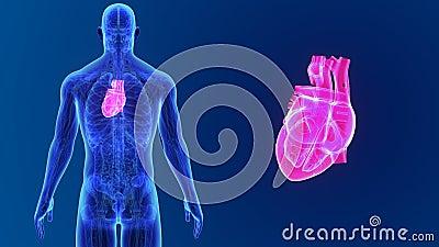 Human Heart zoom with Anatomy Stock Photo