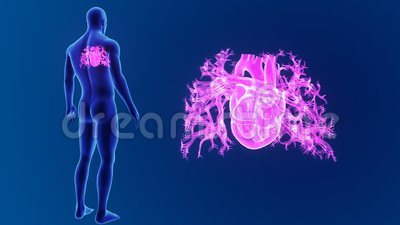 Human Heart zoom with Body Stock Photo