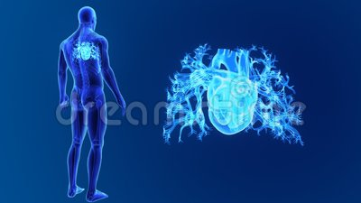 Human Heart zoom with Skeleton Stock Photo
