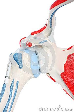 Human hip bone