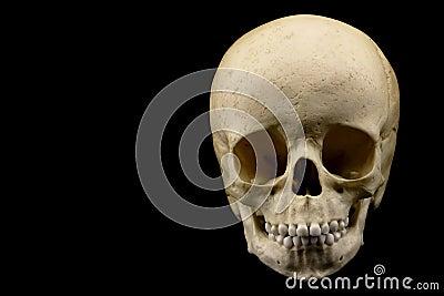 Human infant skull
