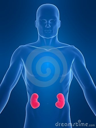 Free Human Kidney Royalty Free Stock Photography - 2084087