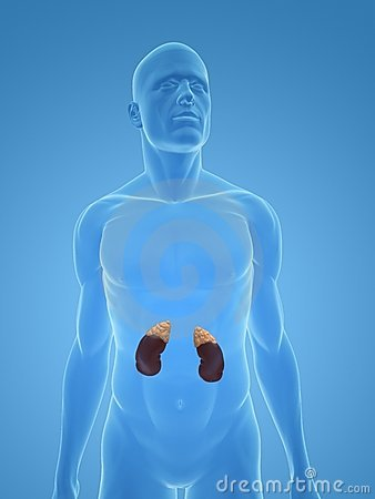 Human kidney and adrenal glands