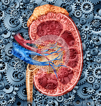 Free Human Kidney Function Royalty Free Stock Photography - 26813647