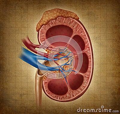 Human Kidney With Grunge Texture