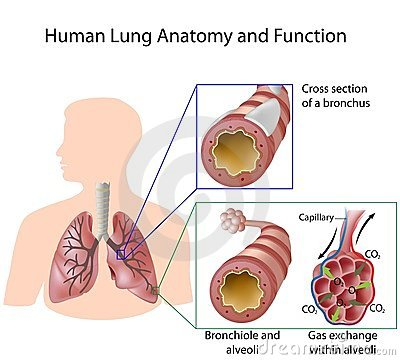 Free Human Lung Anatomy And Function Royalty Free Stock Image - 23617026