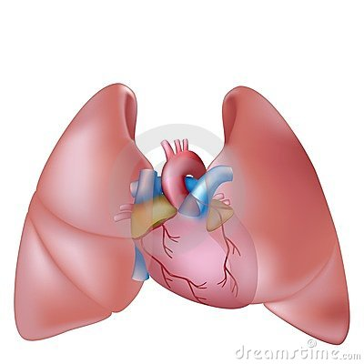 Free Human Lungs And Heart Royalty Free Stock Photography - 23764077