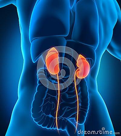 Human Male Kidneys Anatomy