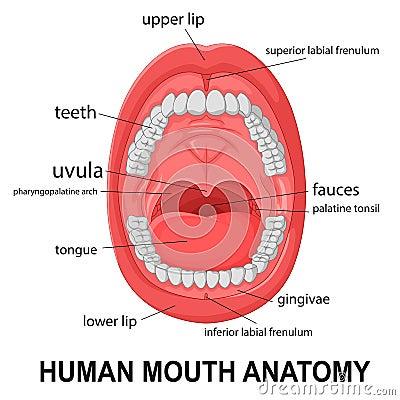 Human mouth anatomy - photo#16