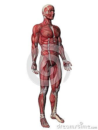 Human Muscle Xray Body