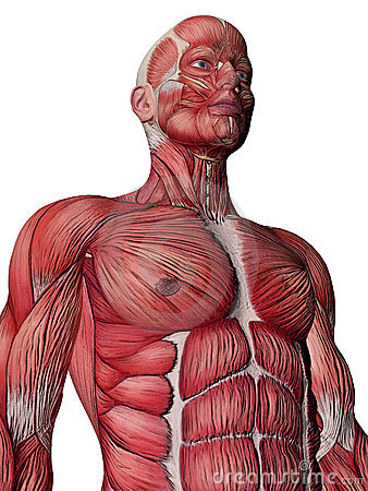 Human Muscle Xray Torso