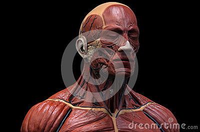 human muscular structure stock illustration - image: 67156578, Muscles