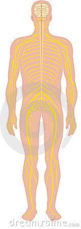Free Human Nervous System Stock Images - 7023854