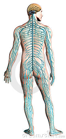 Human nervous system diagram.