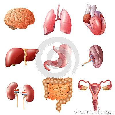 Free Human Organs Set Stock Photos - 73682813